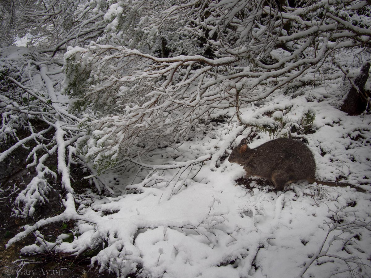 pademelon the snow