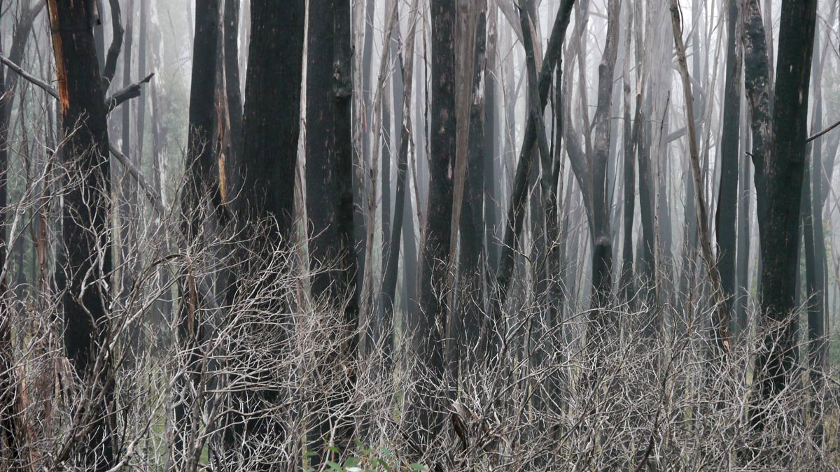 Bushfire destroyed forest