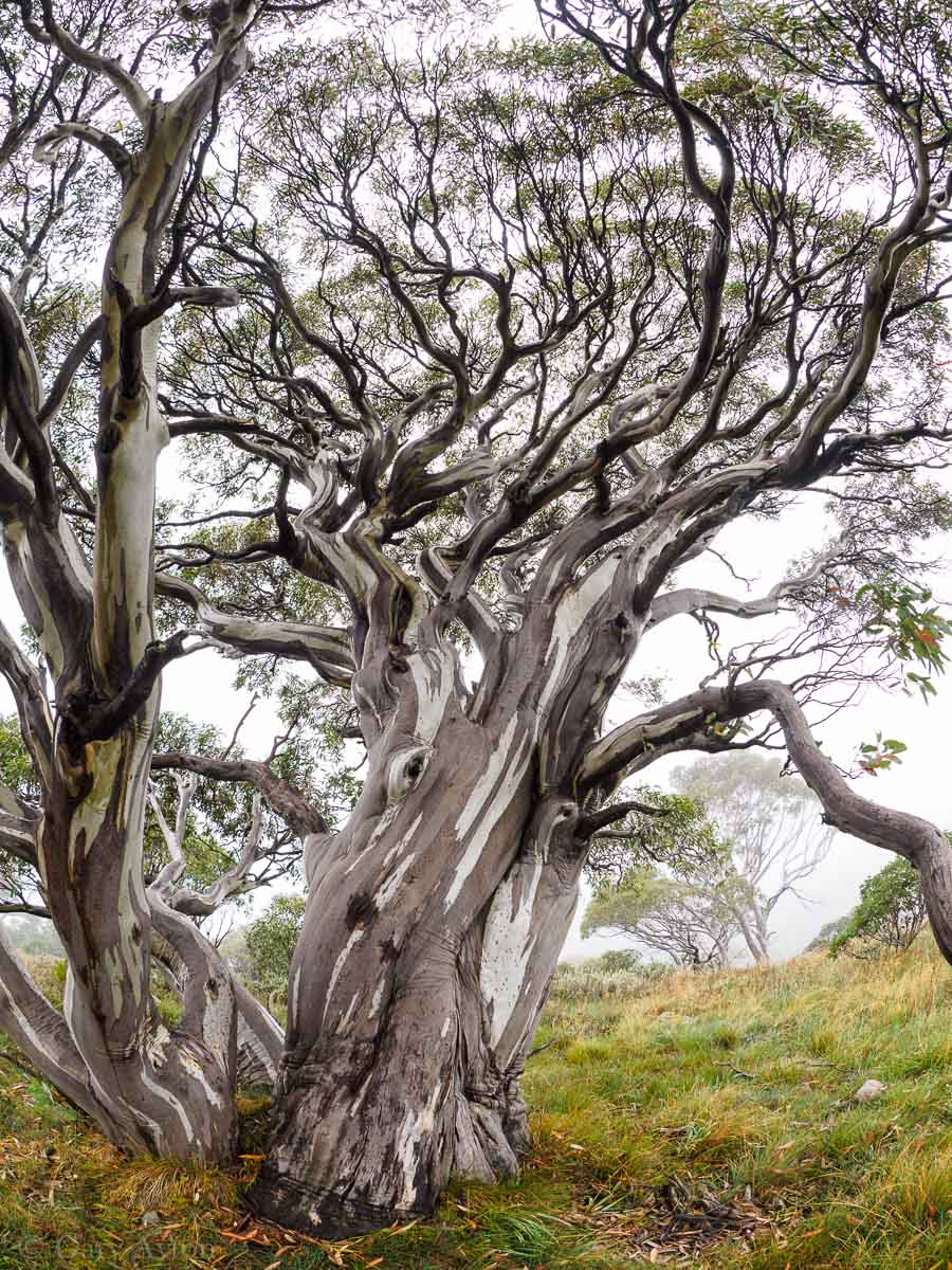 snowgums in fog